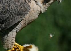 peregrine-falcon-1108-camargue-copyright-photographers-on-safari-com
