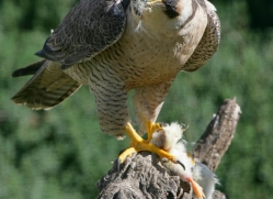 peregrine-falcon-1109-camargue-copyright-photographers-on-safari-com