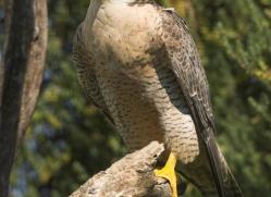 peregrine-falcon-1111-camargue-copyright-photographers-on-safari-com