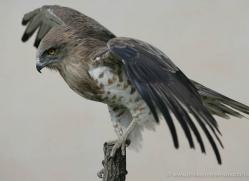 short-toed-snake-eagle-1118-camargue-copyright-photographers-on-safari-com.jpg