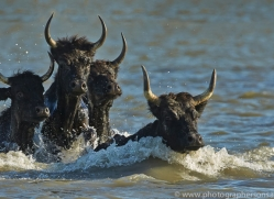 Black Bulls 2015 -1copyright-photographers-on-safari-com