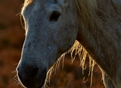 Camargue Horses 2015 -10copyright-photographers-on-safari-com