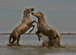 Camargue Horses 2015 -11copyright-photographers-on-safari-com