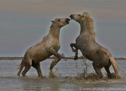 Camargue Horses 2015 -12copyright-photographers-on-safari-com