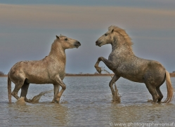 Camargue Horses 2015 -13copyright-photographers-on-safari-com