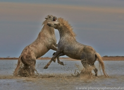 Camargue Horses 2015 -14copyright-photographers-on-safari-com