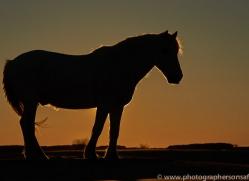 Camargue Horses 2015 -17copyright-photographers-on-safari-com