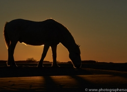 Camargue Horses 2015 -18copyright-photographers-on-safari-com