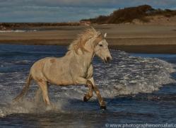 Camargue Horses 2015 -22copyright-photographers-on-safari-com