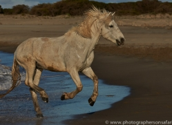 Camargue Horses 2015 -23copyright-photographers-on-safari-com