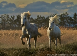 Camargue Horses 2015 -25copyright-photographers-on-safari-com