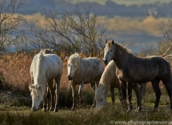 Camargue Horses 2015 -26copyright-photographers-on-safari-com
