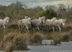 Camargue Horses 2015 -27copyright-photographers-on-safari-com
