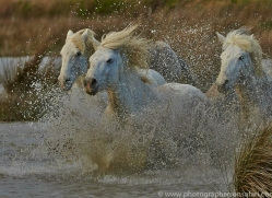 Camargue Horses 2015 -28copyright-photographers-on-safari-com