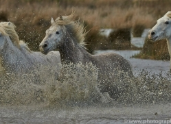 Camargue Horses 2015 -29copyright-photographers-on-safari-com