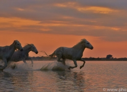 Camargue Horses 2015 -2copyright-photographers-on-safari-com