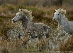 Camargue Horses 2015 -30copyright-photographers-on-safari-com