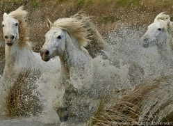 Camargue Horses 2015 -31copyright-photographers-on-safari-com