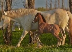 Camargue Horses 2015 -33copyright-photographers-on-safari-com