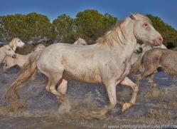 Camargue Horses 2015 -35copyright-photographers-on-safari-com
