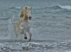 Camargue Horses 2015 -3copyright-photographers-on-safari-com
