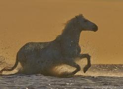 Camargue Horses 2015 -41copyright-photographers-on-safari-com