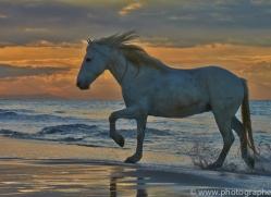 Camargue Horses 2015 -50copyright-photographers-on-safari-com