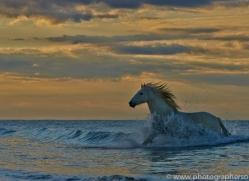 Camargue Horses 2015 -52copyright-photographers-on-safari-com