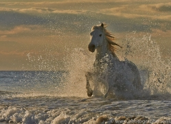 Camargue Horses 2015 -57copyright-photographers-on-safari-com