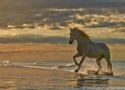 Camargue Horses 2015 -58copyright-photographers-on-safari-com