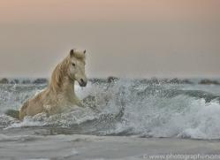Camargue Horses 2015 -5copyright-photographers-on-safari-com