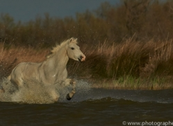 Camargue Horses 2015 -62copyright-photographers-on-safari-com