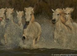 Camargue Horses 2015 -63copyright-photographers-on-safari-com