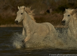 Camargue Horses 2015 -64copyright-photographers-on-safari-com