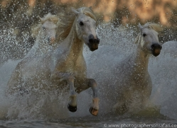 Camargue Horses 2015 -69copyright-photographers-on-safari-com