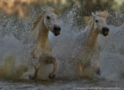 Camargue Horses 2015 -70copyright-photographers-on-safari-com