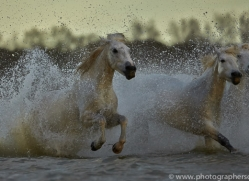 Camargue Horses 2015 -71copyright-photographers-on-safari-com