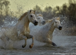 Camargue Horses 2015 -72copyright-photographers-on-safari-com