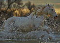 Camargue Horses 2015 -74copyright-photographers-on-safari-com