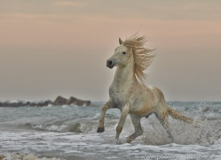 Camargue Horses 2015 -7copyright-photographers-on-safari-com
