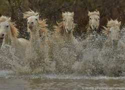 Camargue Horses 2015 -8copyright-photographers-on-safari-com