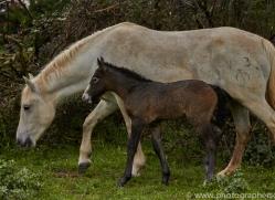 Camargue Horses 2015 -9copyright-photographers-on-safari-com