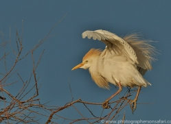 Cattle Egret 2014-7copyright-photographers-on-safari-com