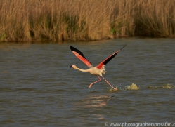 Flamingo 2015 -3copyright-photographers-on-safari-com