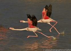 Flamingo 2015 -4copyright-photographers-on-safari-com