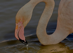 Flamingo 2015 -5copyright-photographers-on-safari-com