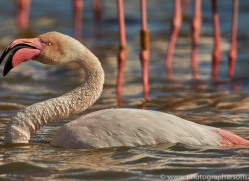 Flamingo 2015 -6copyright-photographers-on-safari-com