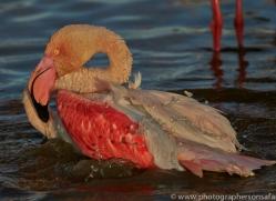Flamingo 2015 -8copyright-photographers-on-safari-com