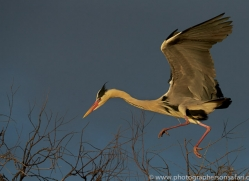 Grey Heron 2014-2copyright-photographers-on-safari-com