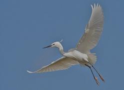 Little Egret 2014-1copyright-photographers-on-safari-com